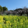 京都)青谷梅林梅まつり。七分咲き。