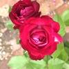 NHK趣味の園芸「バラと暮らす12か月」でデュエットバルコニアが紹介されていました(夏バテ知らずのバラ)