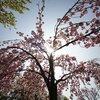 八重桜を見に宇治へ