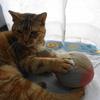 10月前半の #ねこ #cat #猫 どらやきちゃん