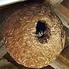 スズメバチの巣にスズメ 陸前高田の病院で子育て