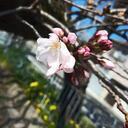 宇治川の桜、開花宣言するにゃー