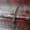 再生する不思議な生き物 プラナリア(ナミウズムシ)