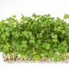 ブロッコリースプラウトを栽培中です♪