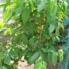 蟠桃の実が少し大きくなってきたので摘果しました