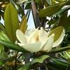 タイサンボク(泰山木、大山木)の花