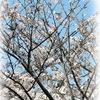 サクラ5分咲き (鹿児島県霧島市プリザーブドフラワー・霧島市プリザーブドフラワーウェディングブーケのハートローズ)