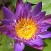 神秘的な蓮の花