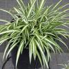 斑入りの植物 1