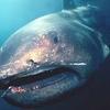 地震前兆百科:水中・水辺の動物:深海鮫:メガマウス