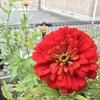 ジニアの花とラベンダー