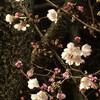 もうこの桜が咲き始めた? 03/01