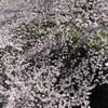 桜が満開🌸で綺麗