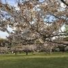 大泉公園の桜が最高