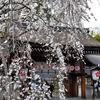 京の桜の名所 平野神社境内を歩いてみた
