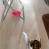 【愛猫日記】毎日アンヌさん#111