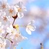 サタプラ、ふわふわ、桜