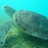 八重山諸島への旅 その19 西表島 イダの浜でウミガメと遊ぶ