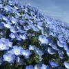 GWが見頃!青空と神秘的なネモフィラブルーの花畑、国営ひたち海浜公園へのアクセスを高速バスと電車で比較