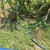 トウモロコシ灌水2日目