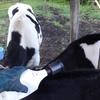 牛の寄生虫予防