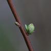 雪柳の冬芽
