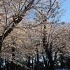 東京の桜は今週末までかも