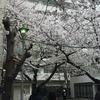 雅から1番近い桜