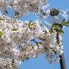 札幌の桜ー月寒三区平成公園、北海道庁旧庁舎、こころーど