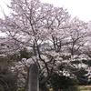 さくら、サクラ、桜咲く(2019年4月7日)