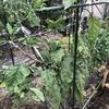 夏野菜に追肥と稲ワラでマルチング