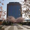 石川県県庁舎「桜並木」でお花見