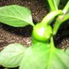 【家庭菜園】ピーマン、なり始めました。