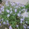 ちょっとピンボケ、イソトマ、紫梅雨草