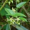 ナンゴクカモメヅル クリーム色の小さな花