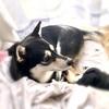 【柴犬グッズ・品番】ミニしまホイ?と円座クッション 可愛い しば丸 グッズ【しまむら】