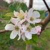 りんごの消毒 開花期