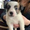 うちにくることになったJRT(ジャックラッセルテリア )の子犬。