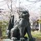 狛犬と桜「中村神社」