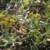 ハハコグサ(ゴギョウ)は柔らかいキクの香り 春の七草