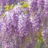 【亀戸/錦糸町】2021年藤の花を亀戸天神へ見に行くお出かけ