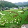 田んぼの「下り竜」躍動 熊本・上天草で見ごろ