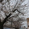桜の花が咲いてきた