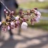 花見。2017.4.13