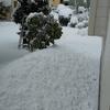 種を採る前のバジルが雪に埋まった