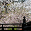 鎌倉、妙本寺の海棠、瑞泉寺の諸葛菜