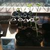 枝豆のタネから発芽期の管理方式について。