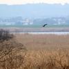 利根川下流を飛ぶチュウヒ