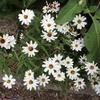 種なしジニアの花って、あるのかもしれないなあ。