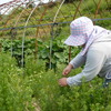 カモミールの摘み取りはじまりました。